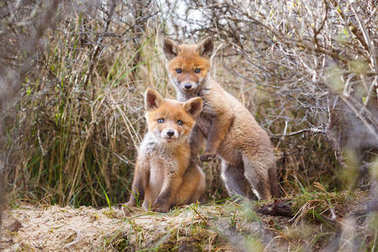 red fox cubs in natural habitat