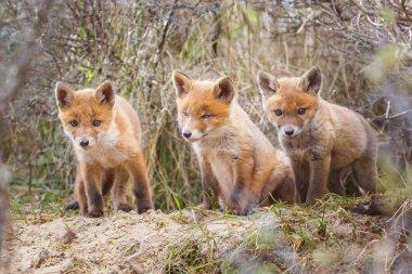"""Картина, постер, плакат, фотообои """"рыжие лисицы в естественной среде обитания """", артикул 175474112"""