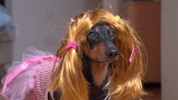 Porträt eines Dackelhundes mit roter Perücke und bunten Haarspangen