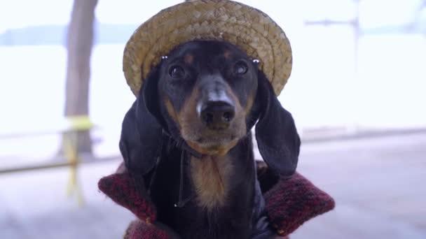 Das Nahaufnahme-Porträt des entzückenden schwarz-braunen Dackels mit hübschem Strohhut und Cowboyanzug. Blickt mit lustigem Gesichtsausdruck direkt in die Kamera und zuckt die Augen zusammen.