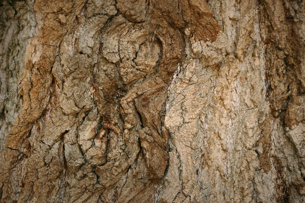 Poplar tree photo texture. Natural rustic wood background. High resolution bark backdrop.