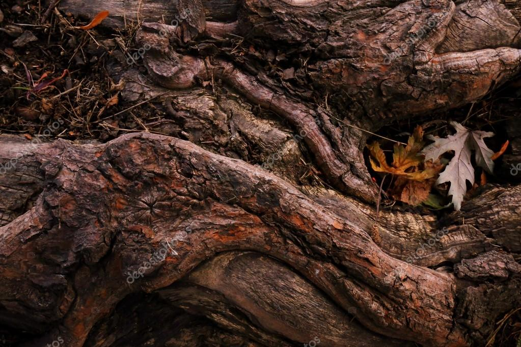 Maple tree roots with leaf and old bark texture.