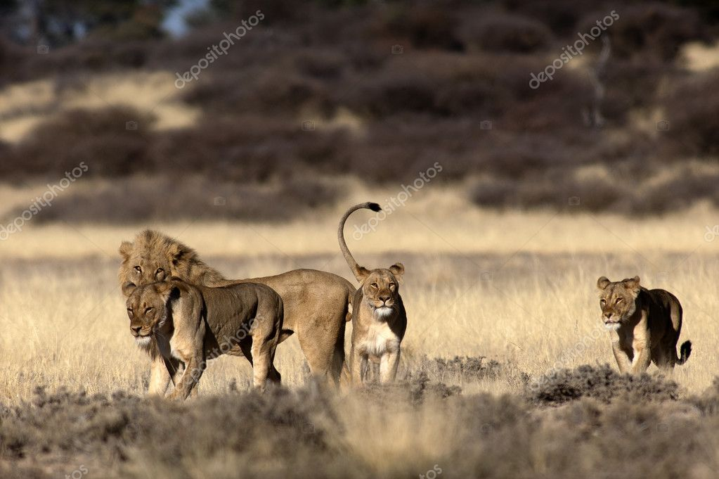 lioness and lion at Safari