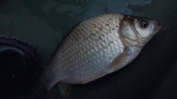 Közeli kép: Friss elfogott halak abban rejlik, hogy a hajó megnyitása a szájban