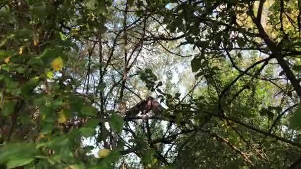 Waldtaubenvogel füttert seine erwachsenen Küken an einem Baum