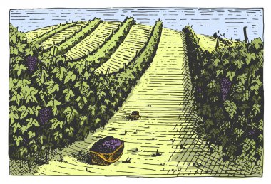 Vintage engraved, hand drawn vineyards landscape, tuskany fields, old looking scratchboard or tatooo style