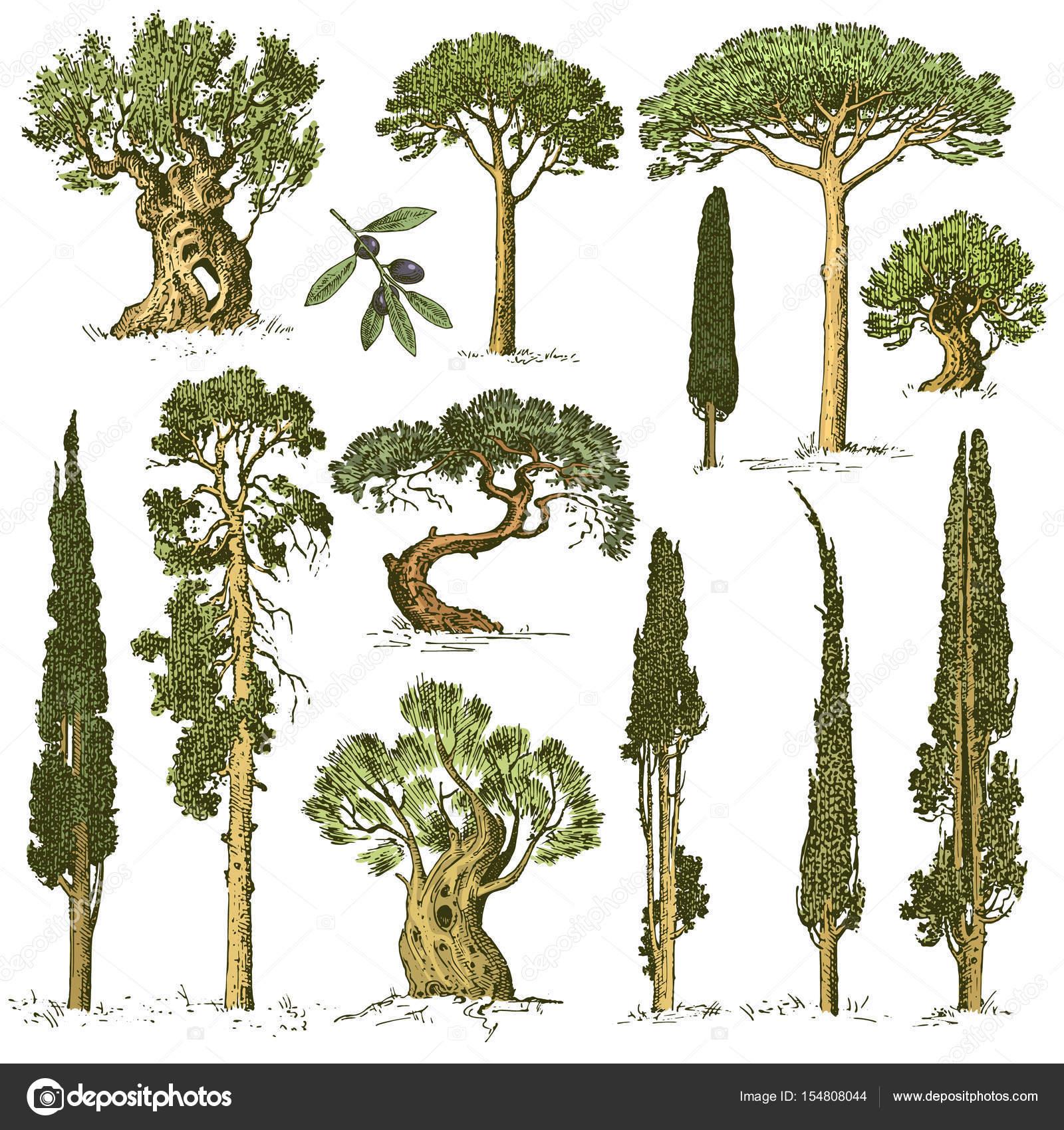 große Reihe von gravierten, handgezeichnete Bäume enthalten Pinien ...