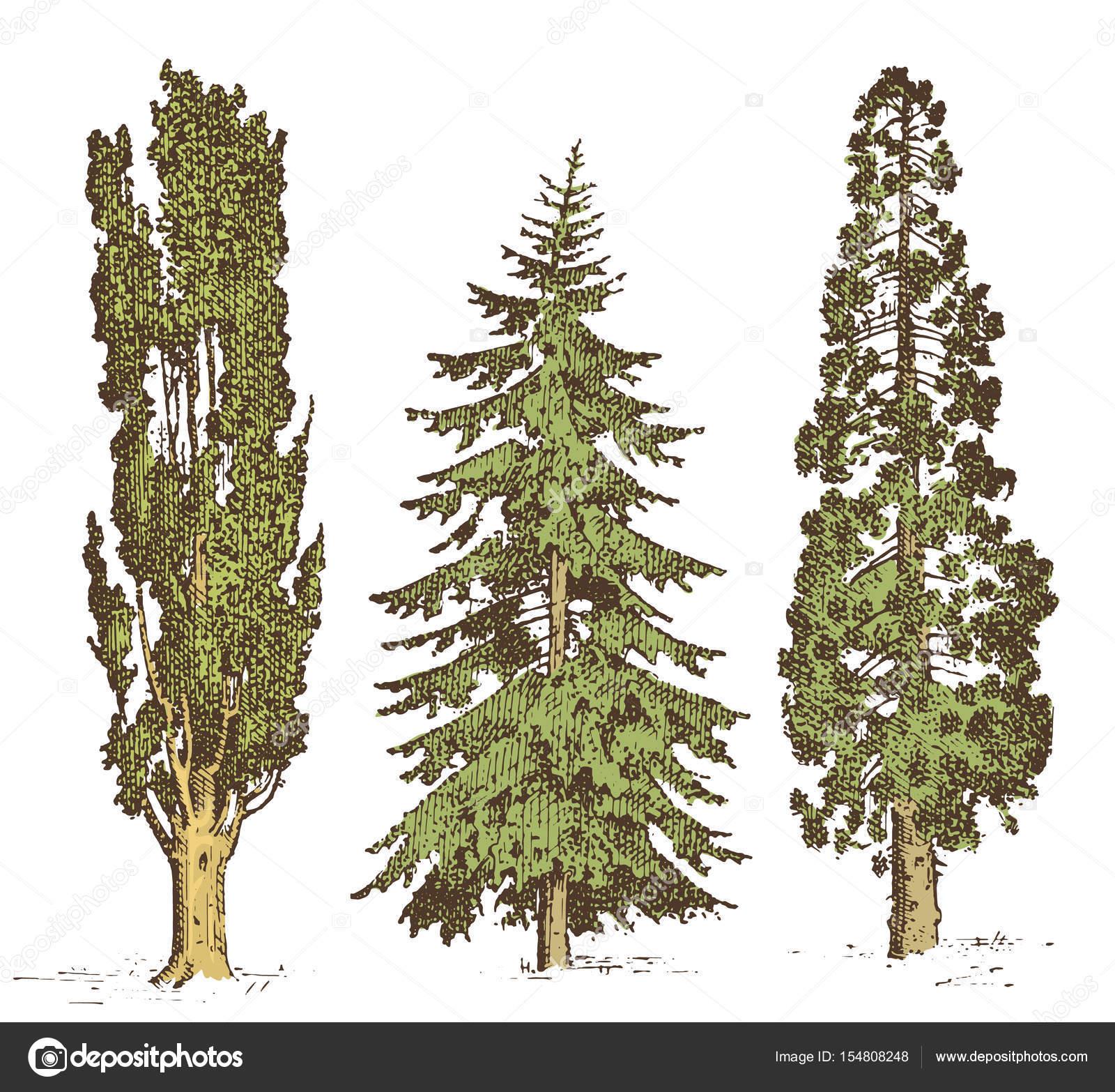 Set Of Hand Drawn Trees Italian Cypress And Stone Pine Pinea