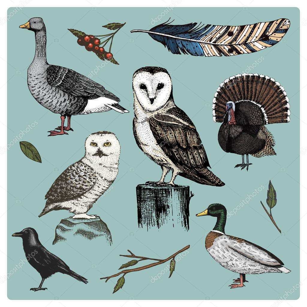 hand drawn vector realistic bird, sketch graphic style, set of domestic. turkey and duck. goose and crow. dove and sparrow. raven and feather. typo alba, white owl, barn, long-eared.