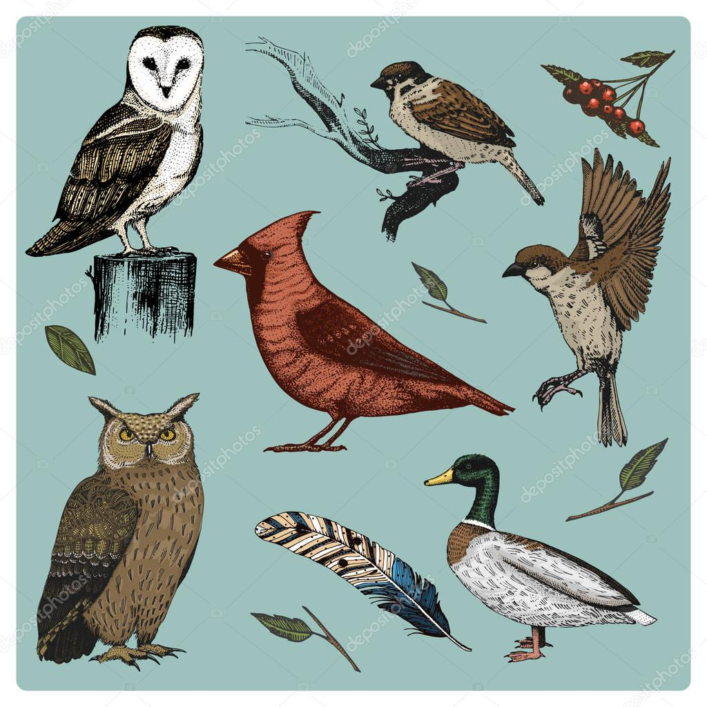 hand drawn vector realistic bird, sketch graphic style, set of domestic. turkey and duck. goose and red cardinal. dove and sparrow. raven and feather. typo alba, white owl, barn, long-eared.