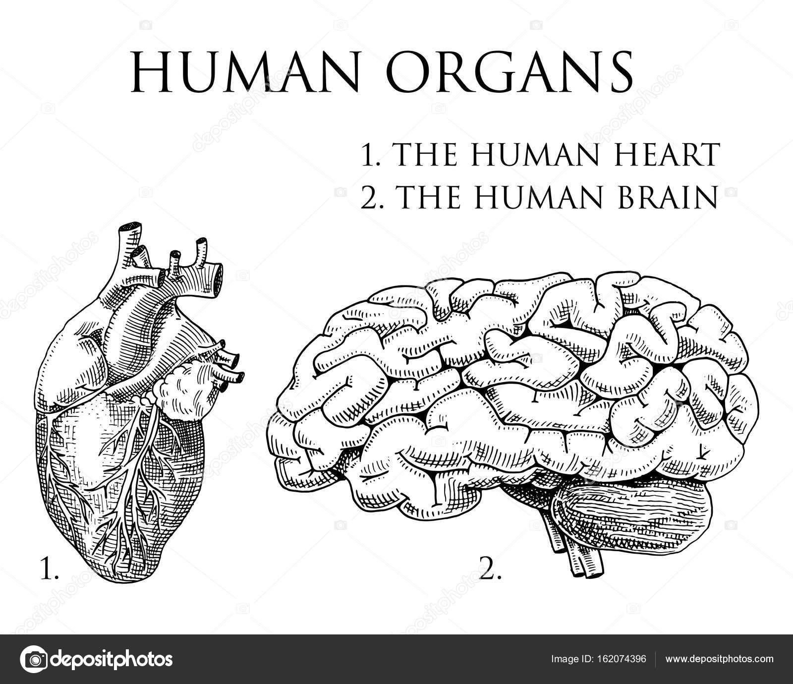 Szervek anatómiai illusztráció Humánbiológiai. vésett kézzel készült régi  vázlat és vintage stílusban. szervezet részletes agy vagy a pericranium és  a szív ... 6363b86db7