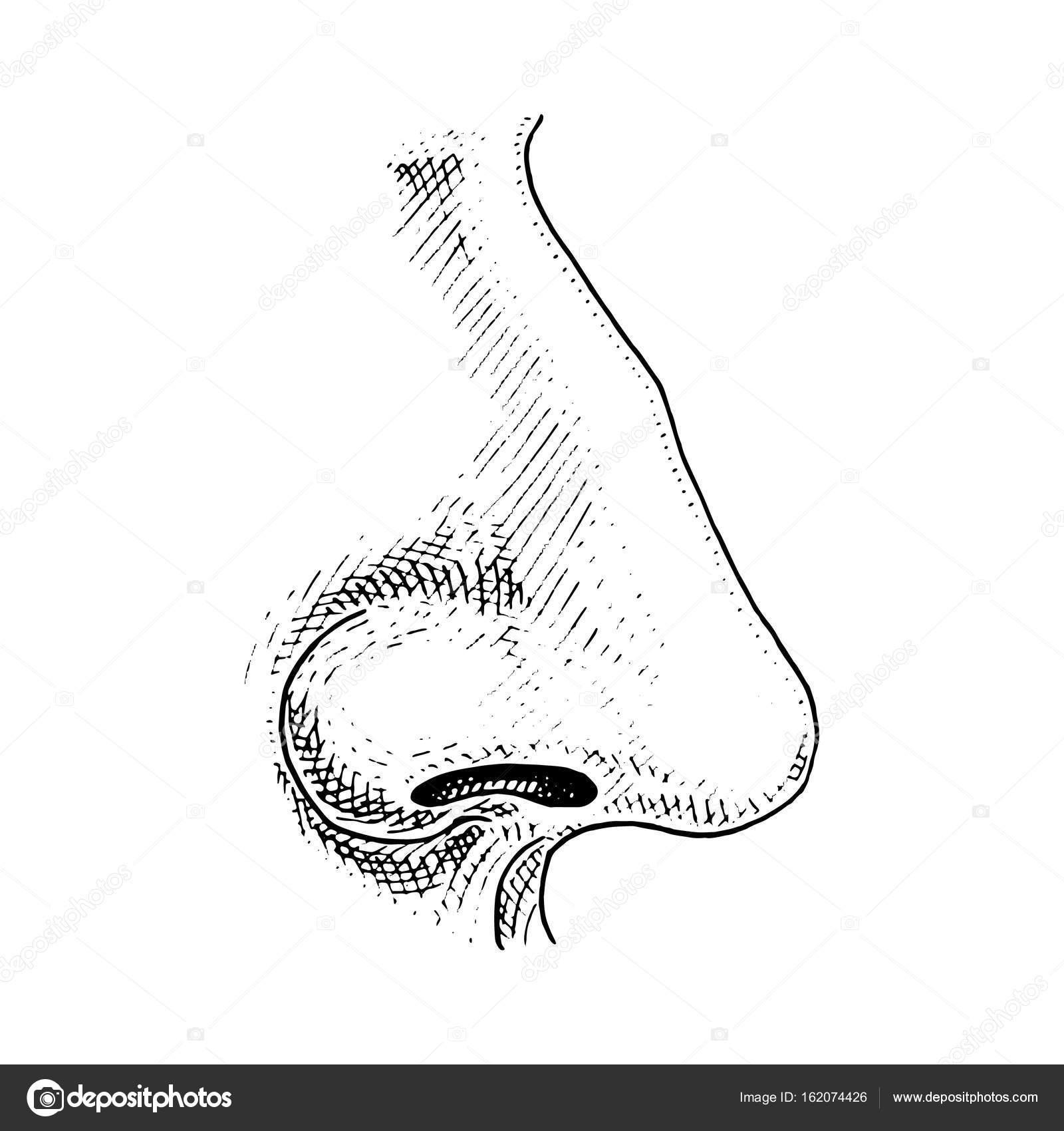 Biología humana, Ilustración de anatomía del órgano. grabado a mano ...