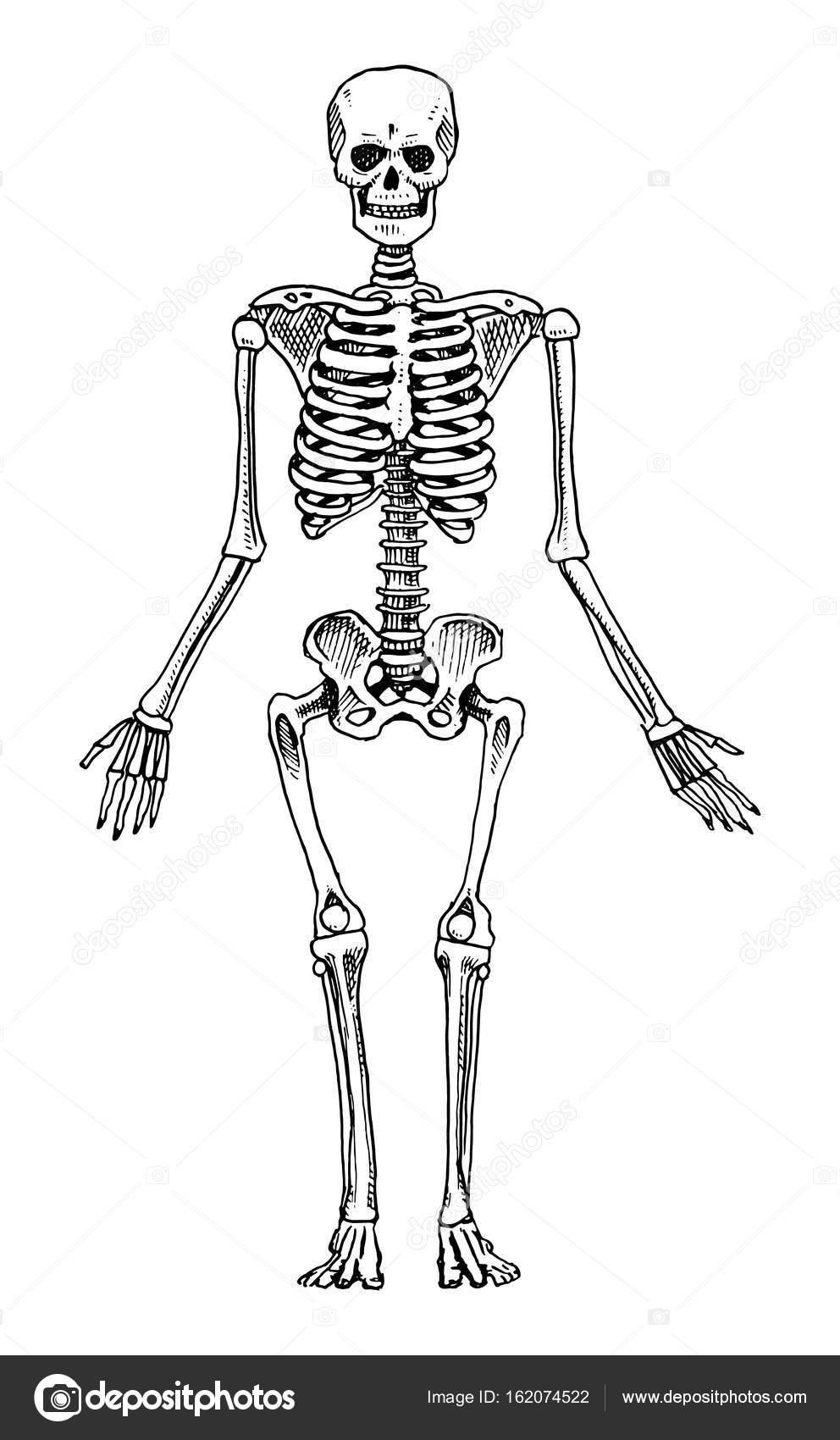 Humanbiologie, Anatomie Abbildung. gravierte handgezeichnete im ...