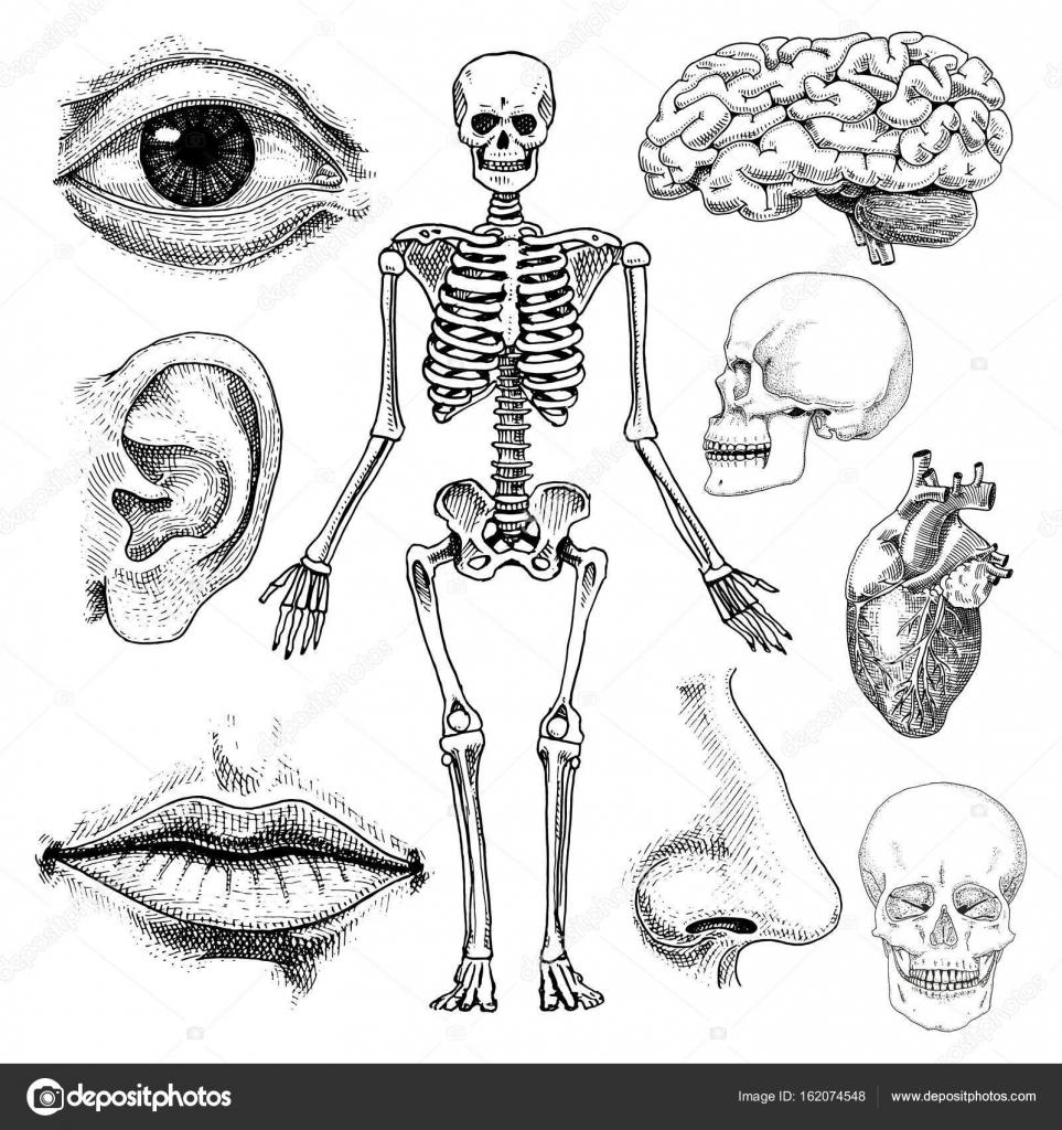 Ausgezeichnet Hundenagel Anatomie Ideen - Menschliche Anatomie ...
