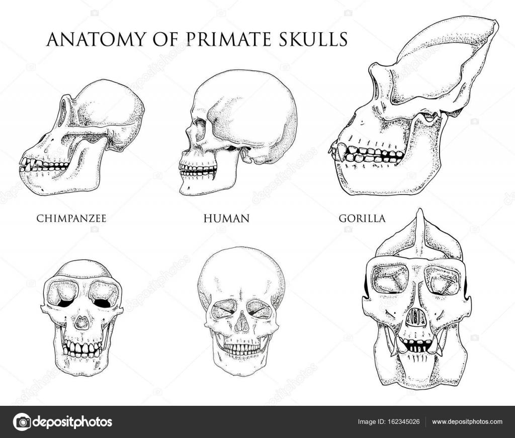 Mensch und Schimpanse, Gorilla. Biologie und Anatomie-Illustration ...