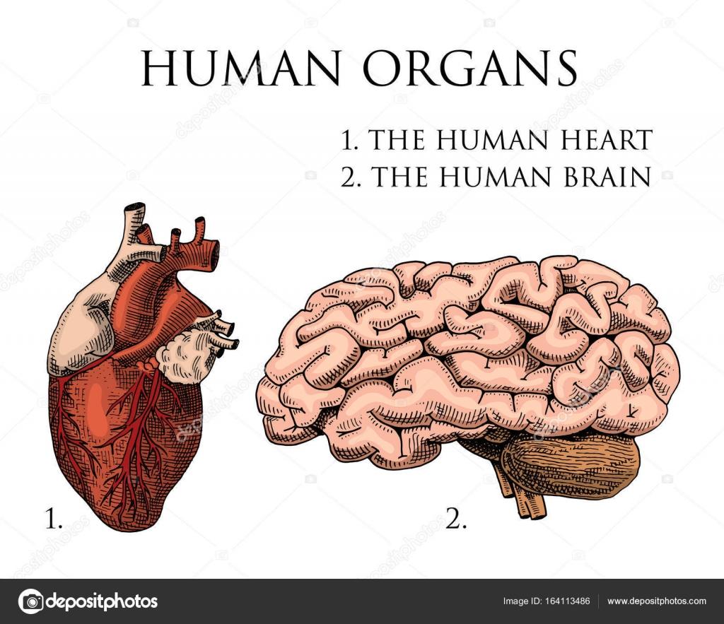 Biología humana, Ilustración de anatomía de los órganos. grabado a ...