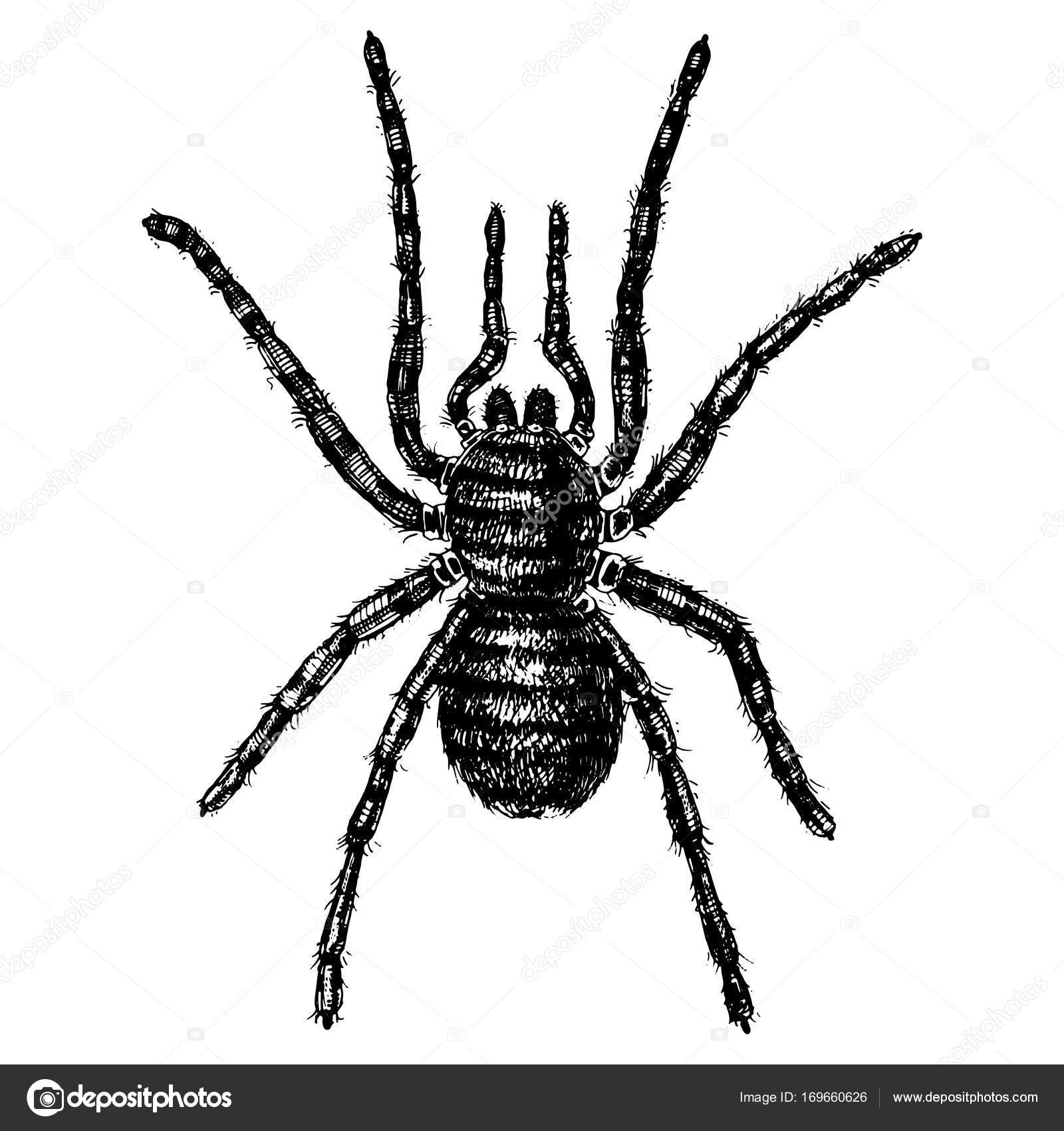Spider or arachnid species, most dangerous insects in the world, old ...