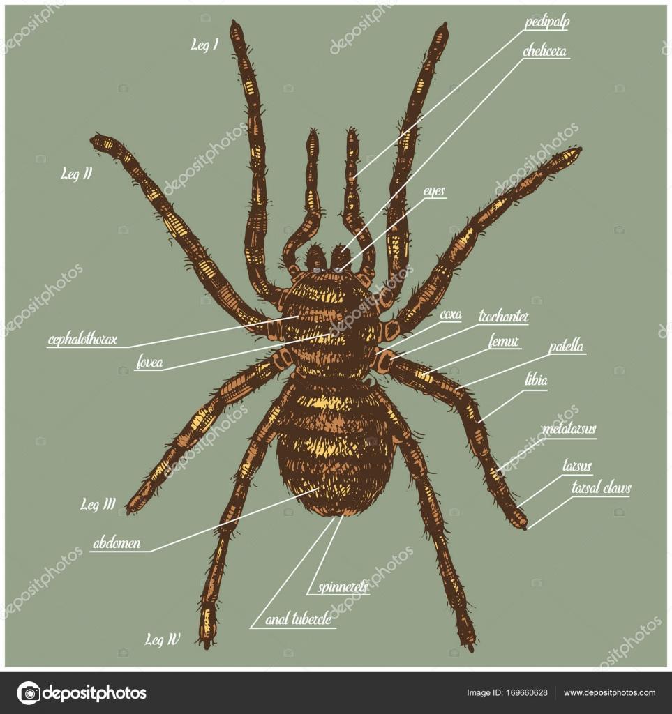 Ilustración de la anatomía de una araña incluyen todo el nombre de ...