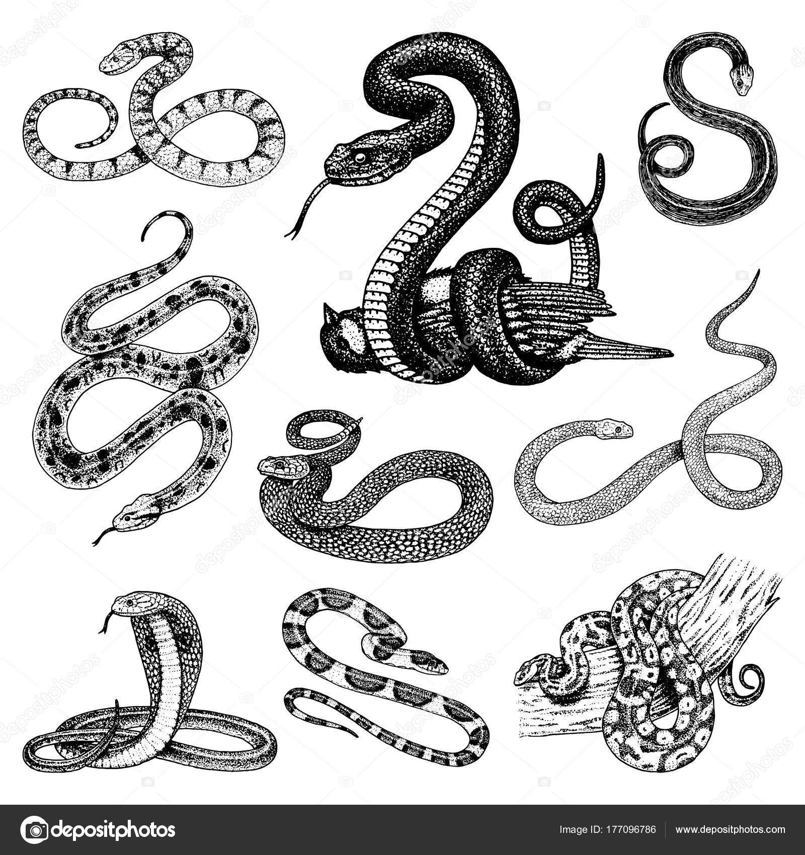 Conjunto víbora serpiente. serpiente cobra y pitón, anaconda o ...