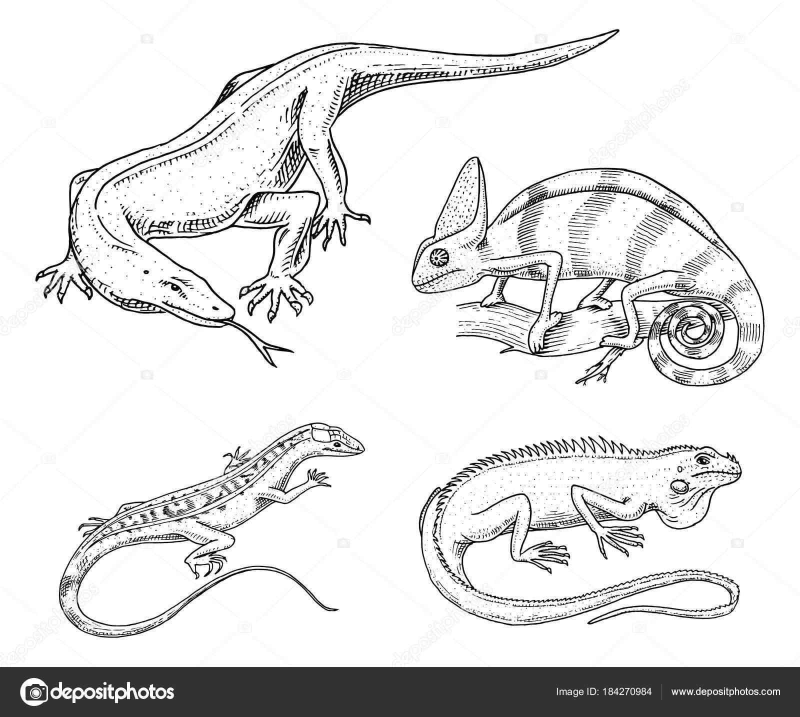 Lagarto camaleón, iguana verde americano, reptiles o serpientes o ...