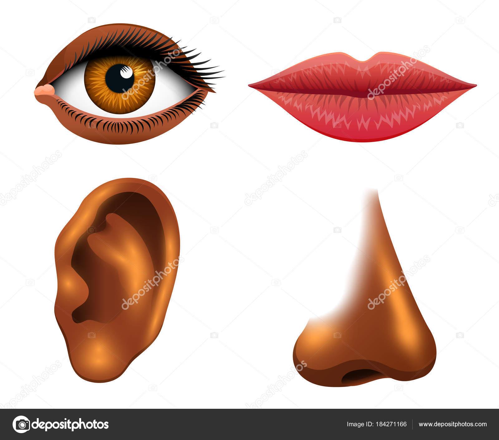 Biología humana, órganos sensoriales, Ilustración de la anatomía ...
