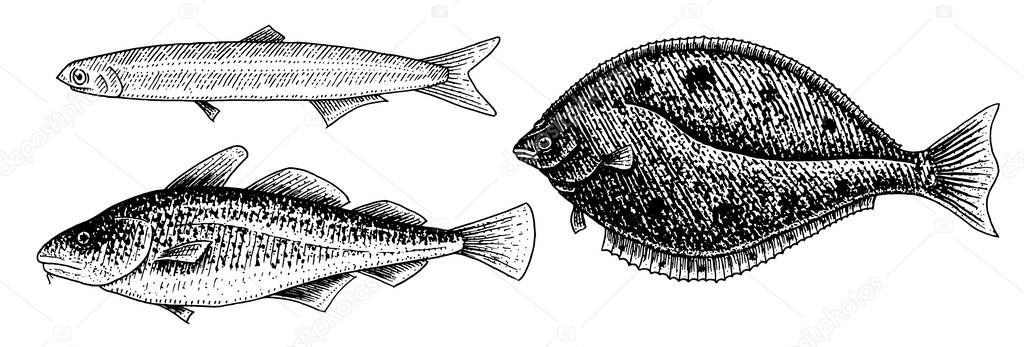 River and lake fish. Atlantic cod, anchovy and halibut. Sea creatures. Freshwater aquarium. Seafood for the menu. Engraved hand drawn in old vintage sketch. Vector illustration. Symbols of the ocean.