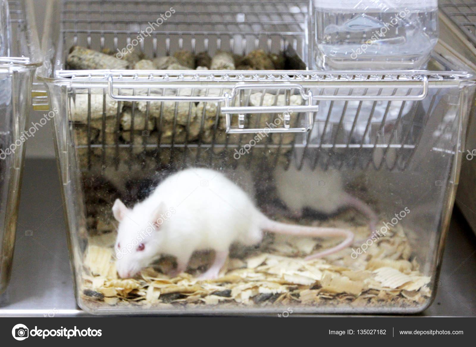 Ratas De Laboratorio En La Jaula