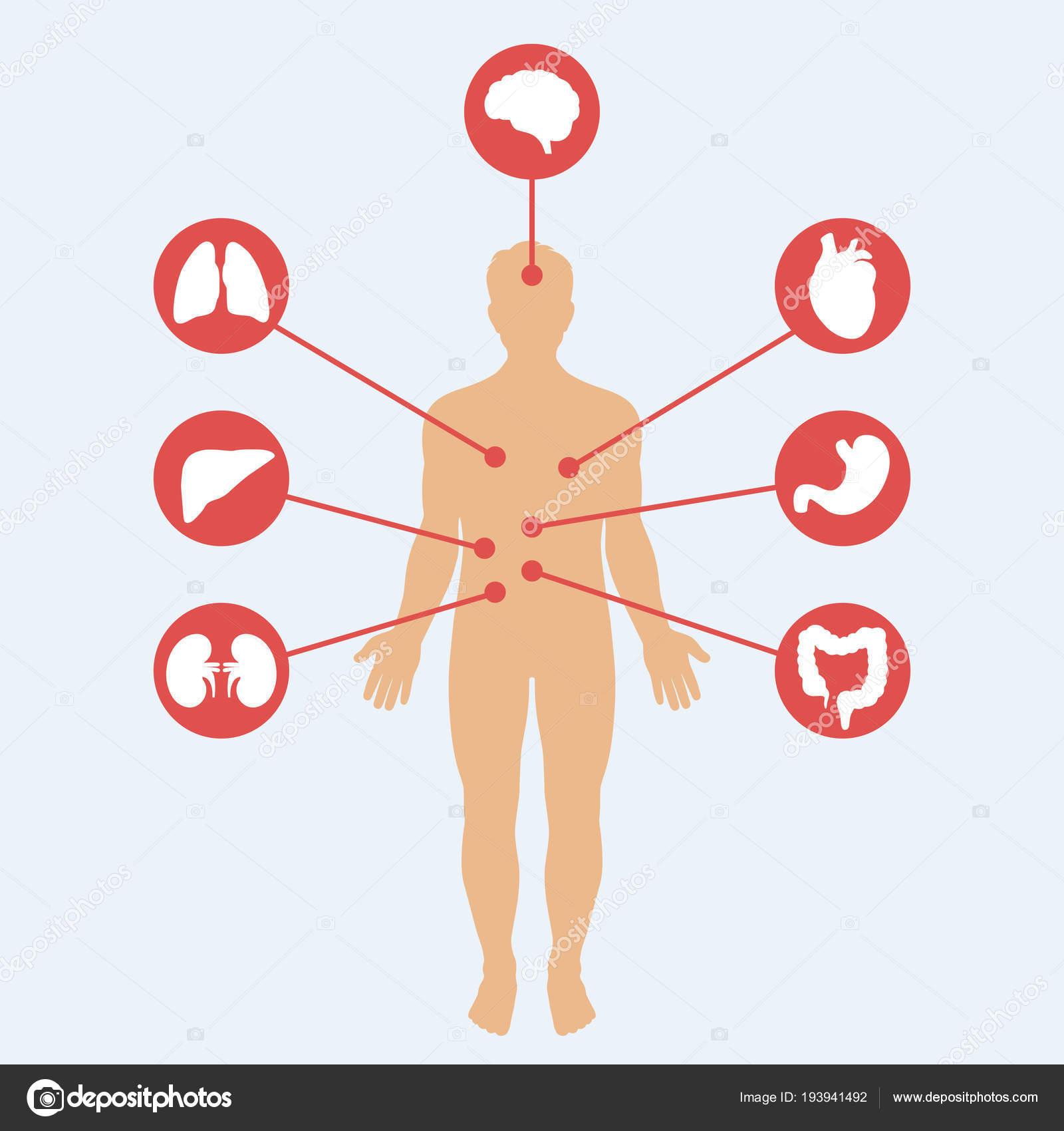Medizinische Plakat Darstellung Der Inneren Organe Der Menschlichen ...