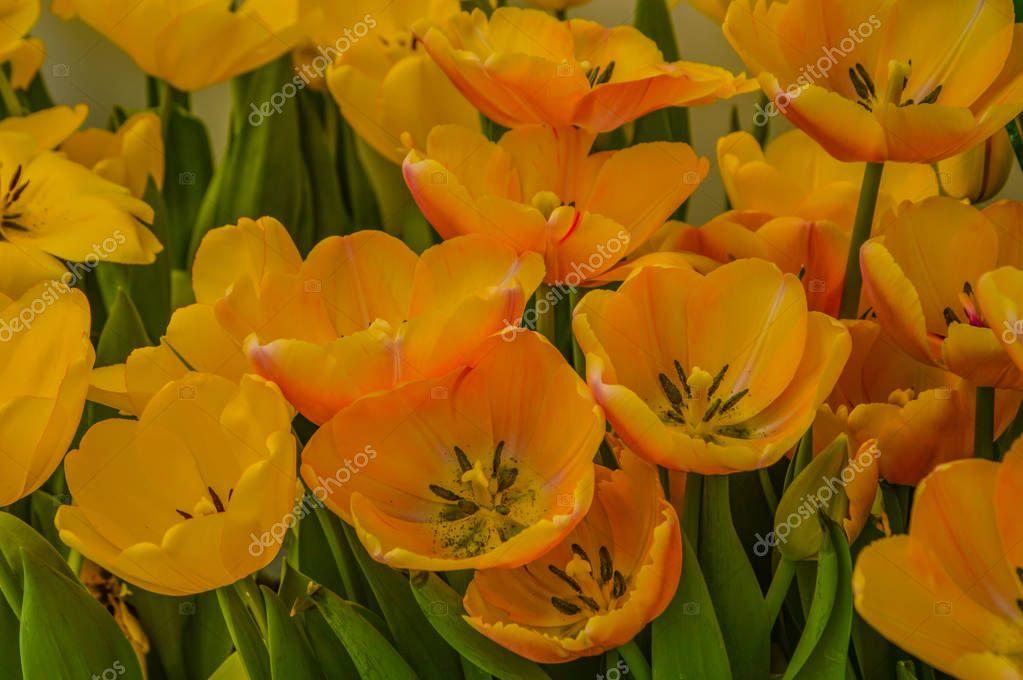 Tulip in thailand