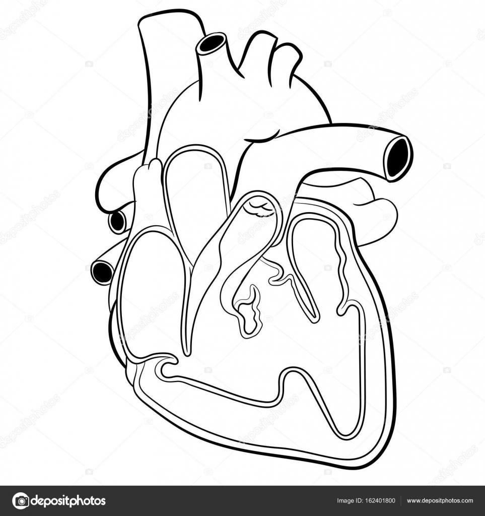 Ilustración De Vector De La Anatomía Del Corazón Vector De Stock
