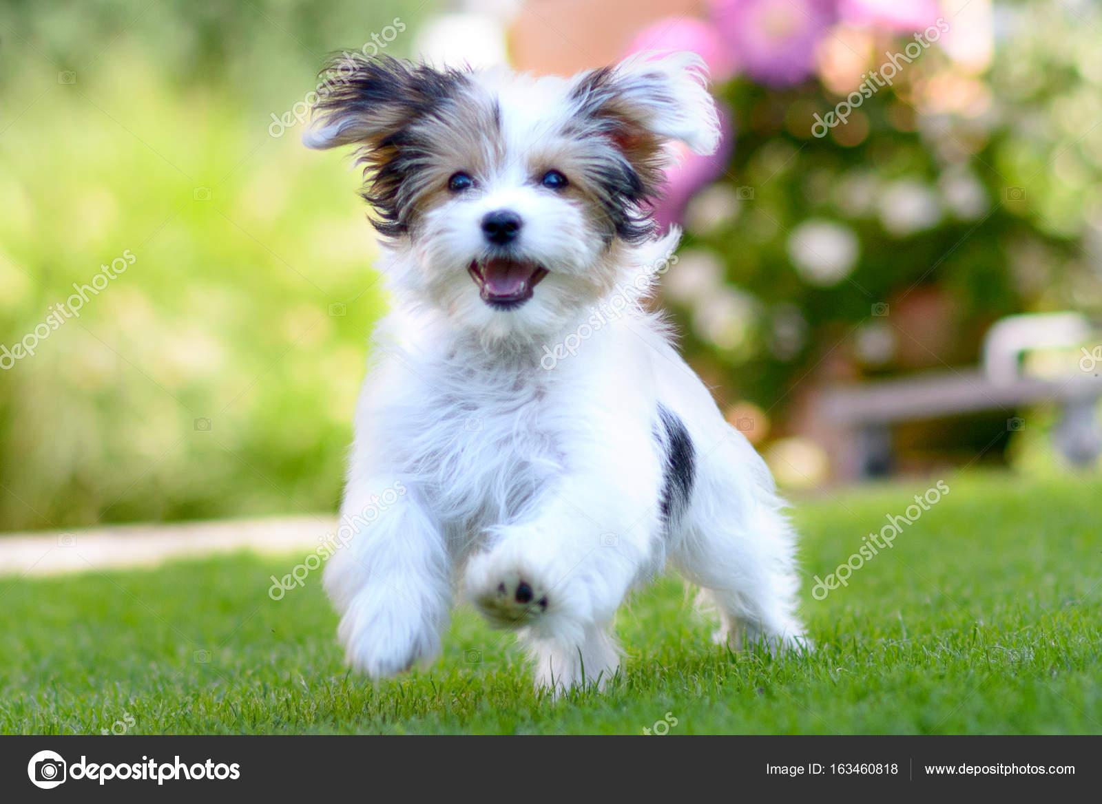 Cute, happy puppy running on summer green grass — Stock ...