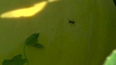 Ant running around the pumpkin