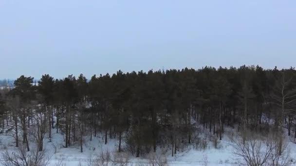 bosco di conifere in inverno
