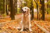 Adorable young golden retriever puppy dog sitting on fallen yellow leaves. Autumn in city park. Horizontal, copy space. Pets care concept.