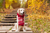 Adorable young golden retriever puppy dog wearing red scarf sitting on concrete stairs near fallen yellow leaves. Autumn in park. Horizontal, copy space. Pets care concept.