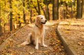 Roztomilý mladý zlatý retrívr štěně sedí na padlých žlutých listech. Podzim v městském parku. Vodorovně, kopírovat prostor. Koncept péče o zvířata.