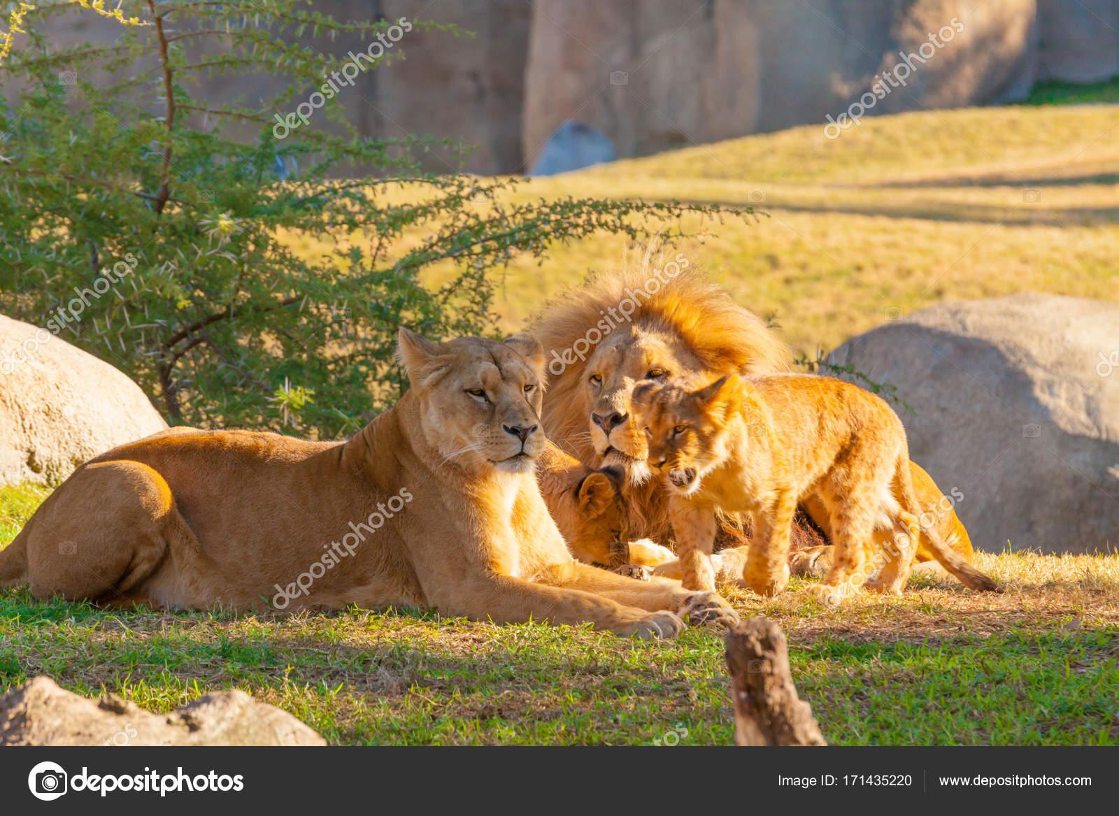 Famille de lions au kenya photographie markpittimages - Photos de lions gratuites ...
