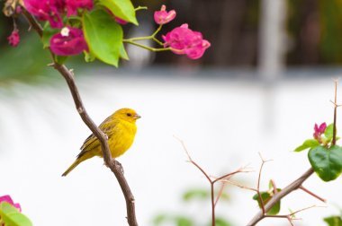Yellow bird on tree branch with thorns and pink flowers.