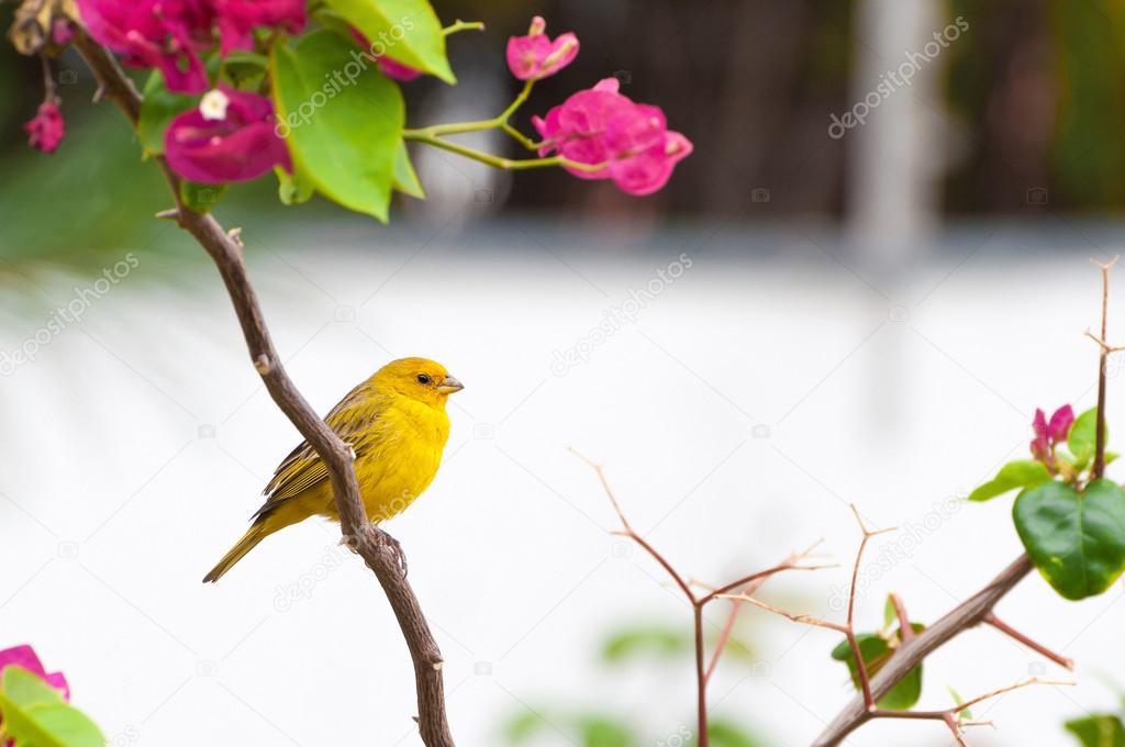 oiseau jaune sur une branche d'arbre avec des épines et des fleurs