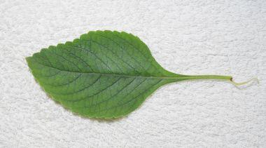 Boldo leaf from a plant named Boldo da Terra