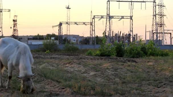 Plemena koz na poli žere trávu, v pozadí vidíme věže linie electro přenos.