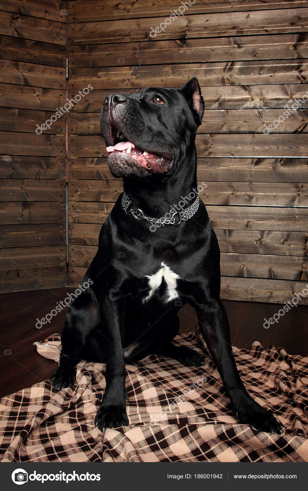 Cane Corso Black Dog Brown Background Stock Photo Kristiillustra