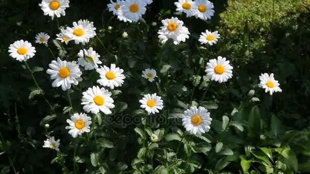 Chamomiles bílé květy s větrem