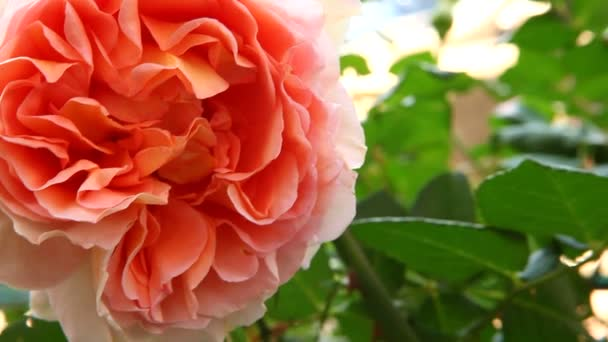 Beautiful big rose flower with wind