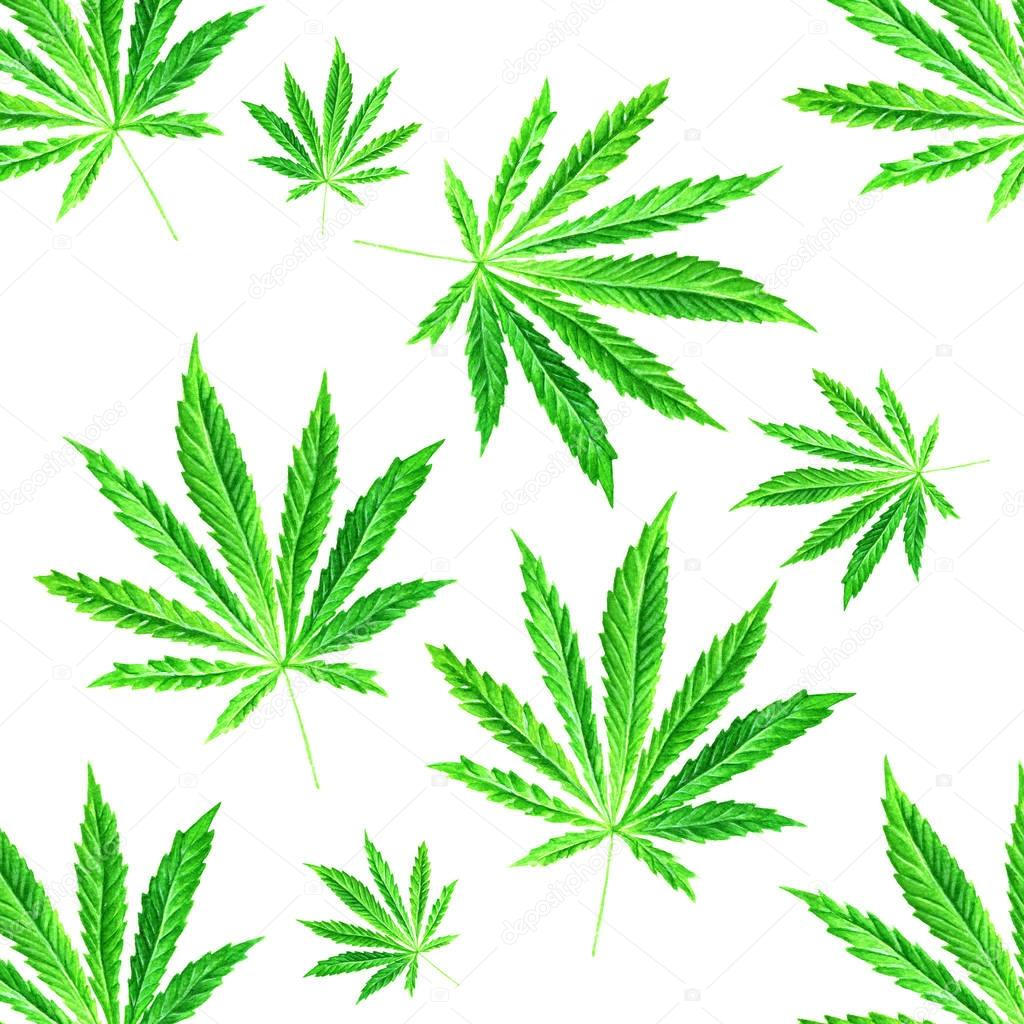 Bright green cannabis sativa leaves painted in watercolor. Hand drawn marijuana illustration isolated on white background. Design element