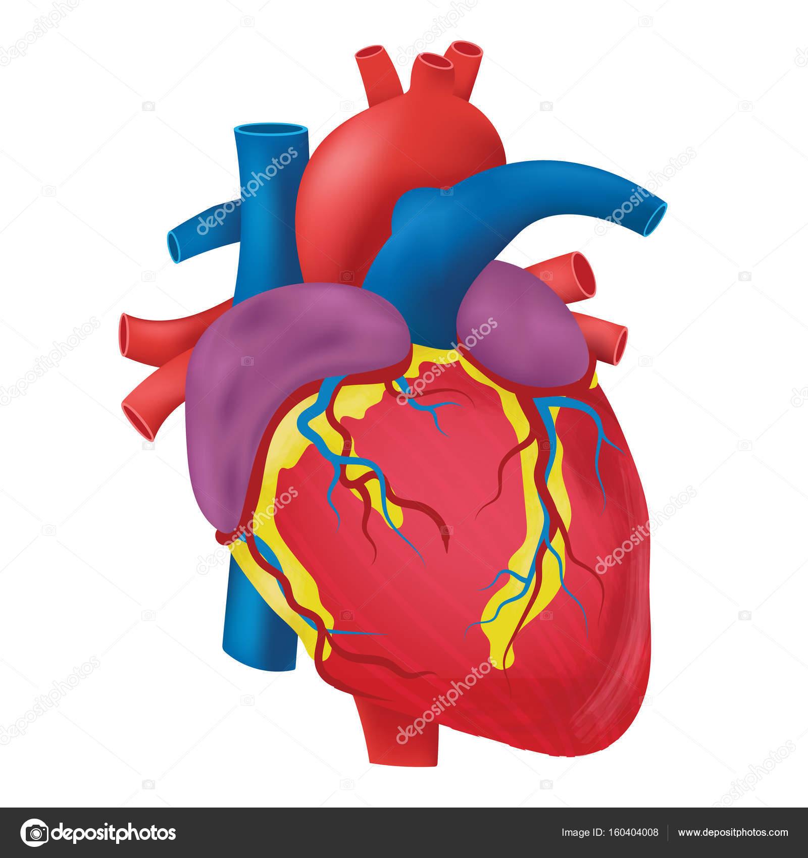 Die Anatomie des menschlichen Herzens — Stockvektor © Achiichiii ...
