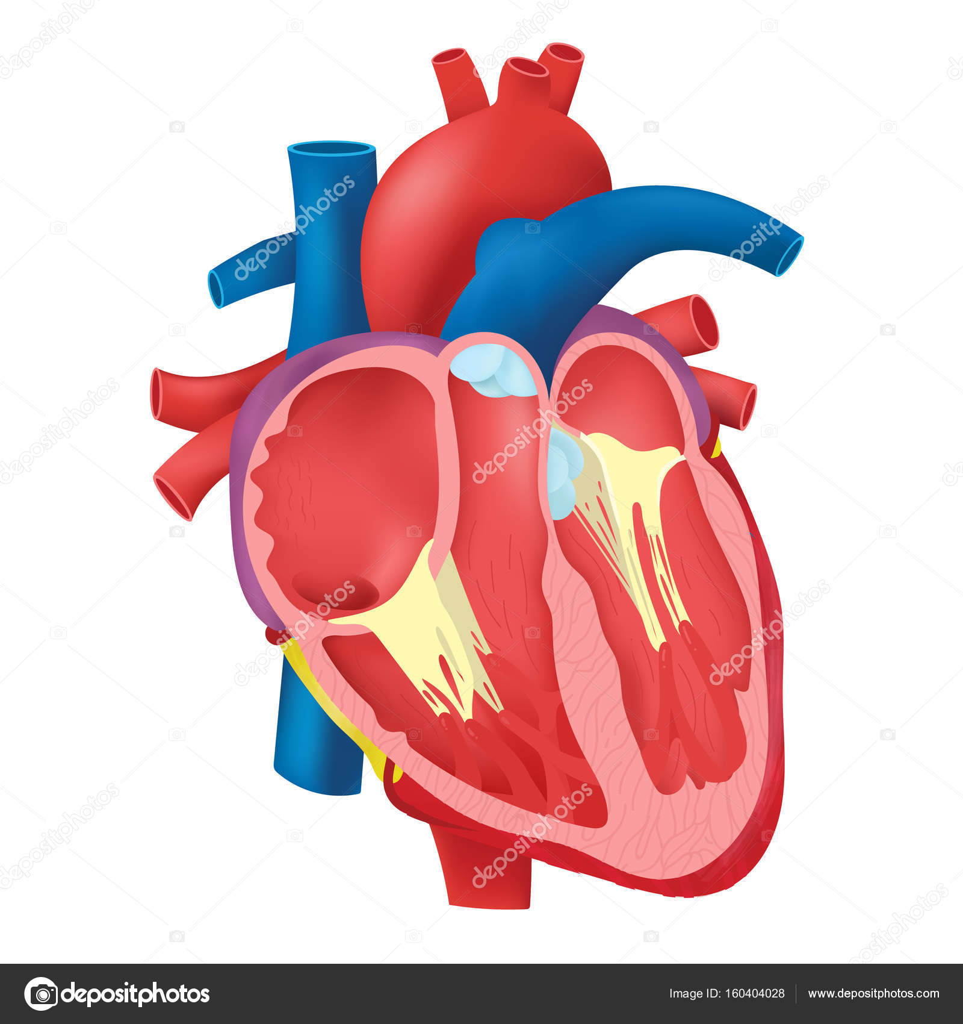 La anatomía del corazón interno — Archivo Imágenes Vectoriales ...