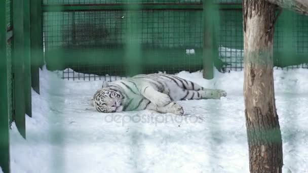 White tiger resting in the cage