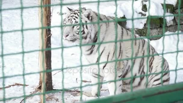 Closeup of white tiger in the cage