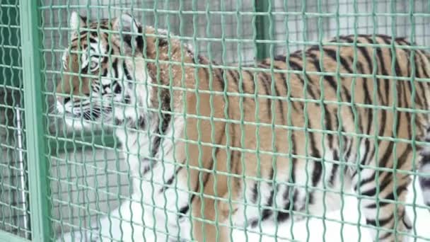 Closeup of tiger walking in the cage